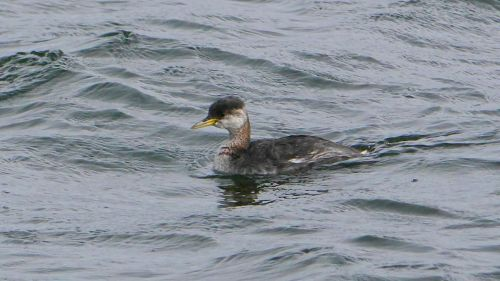 P1270165-Red-necked Grebe-1200