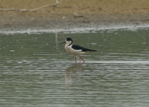 ln6a5301-black-winged-stilt-dp-1000