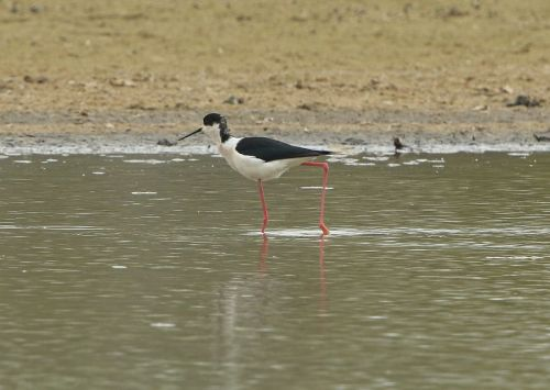 ln6a5328-black-winged-stilt-dp-1200