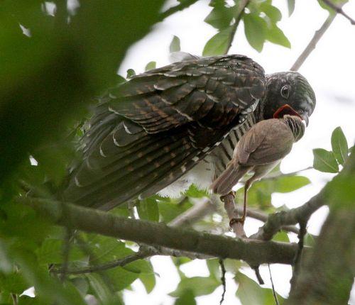 cuckoo_3617b-1100