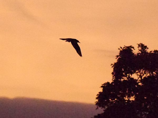 p1320620-black-crowned-night-heron-1000