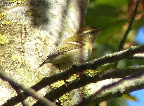 yellow-browed-warbler-little-marlow-280917-d-ferguson-1000