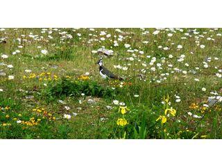 Lapwings in South Bucks
