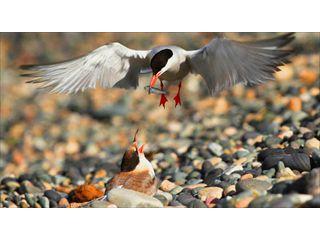 Breeding Terns in Bucks