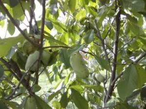 pawpaw on tree