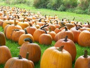 Pumpkins at Trauger's Farm