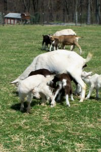 Flint Hill Farm goats; photo by L. Goldman