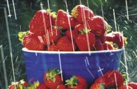 strawberries in rain