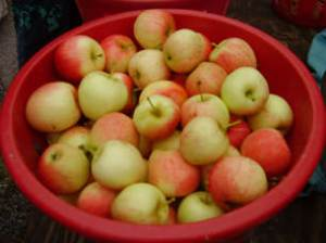 Apples from Snipes Farm