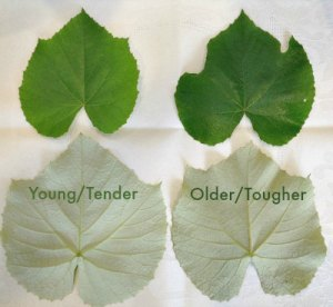 Dolmades leaves_young_older