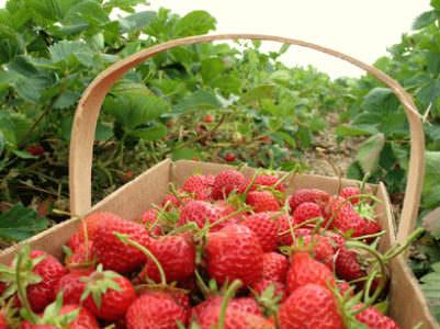 Strawberry Fun Run, The Market at DelVal
