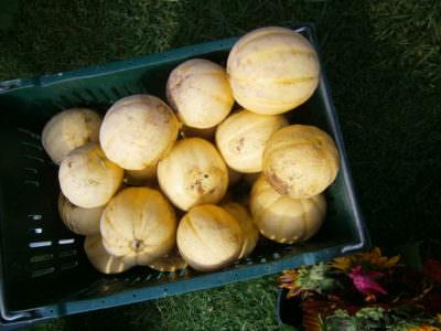 Melons, BGF