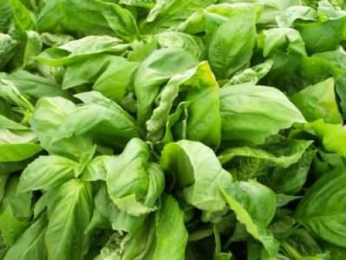 Lettuce from LMFM