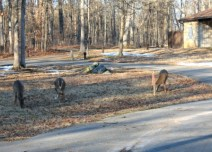 Whitetails in urban areas damage yards as well. Photo by Josh Honeycutt