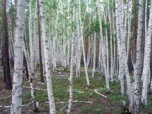 Мухоршибирский лес