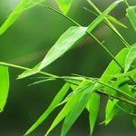 竹の花は不吉?関東大震災の言い伝えや寿命、花言葉も