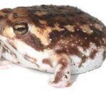カエルでかわいい種類はこれ!アメフクラガエルの生態と鳴き声動画