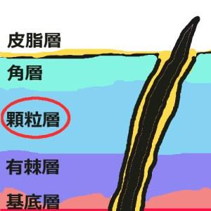 表皮構造_顆粒層
