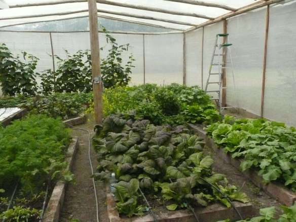 one of our organic greenhouses here at home in Vilcabamba. Kale, cabbage, and carrots are all rich sources of organic Sodium... one of Nature's most important minerals for our well-being