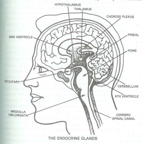 Brain, Brainstem, Spinal Cord, Pineal and Pituitary Glands, and Ventricles where cerebrospinal fluid is produced and then distributed...