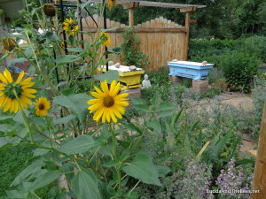 Sunflowers in the bee garden.