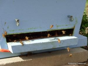Bees bringing in pollen