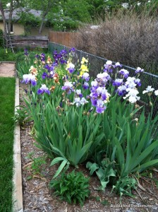 Iris bed in full bloom