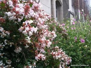 Flowering shrubs with bees - University of Washington