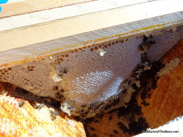 Cross comb with honey - Sarah's hive