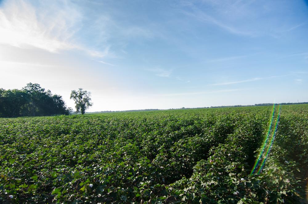Greenwood-mississippi-brooklyn-plantation-cotton-feilds-jenny-adams-buddha-drinks-fanta