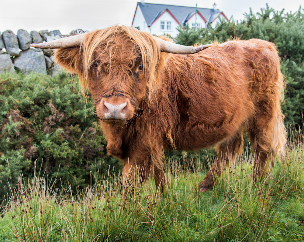 Shaggy Highland Cow outside the town of Bunnesan, Isle of Mull in Scotland, Photo by Jenny Adams-0651
