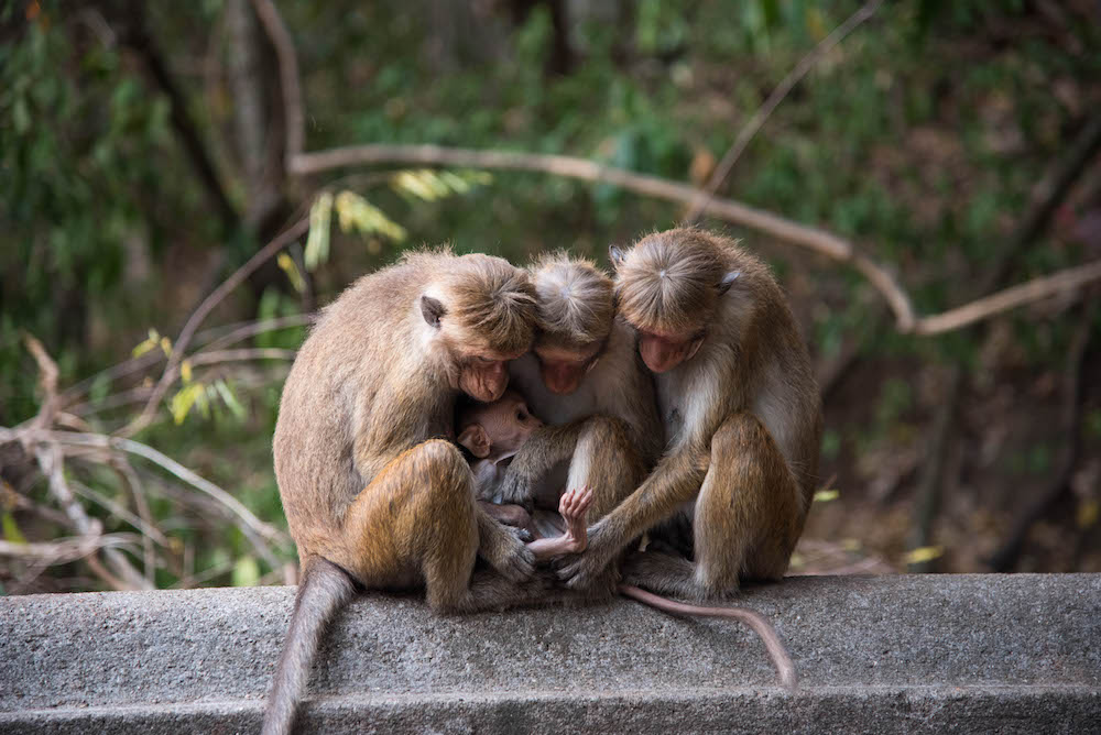 monkeys-sri-lanka-dambulla-golden-temple-buddhist-shrine-hike-stairs-photography-jenny-adams-buddha-drinks-fanta