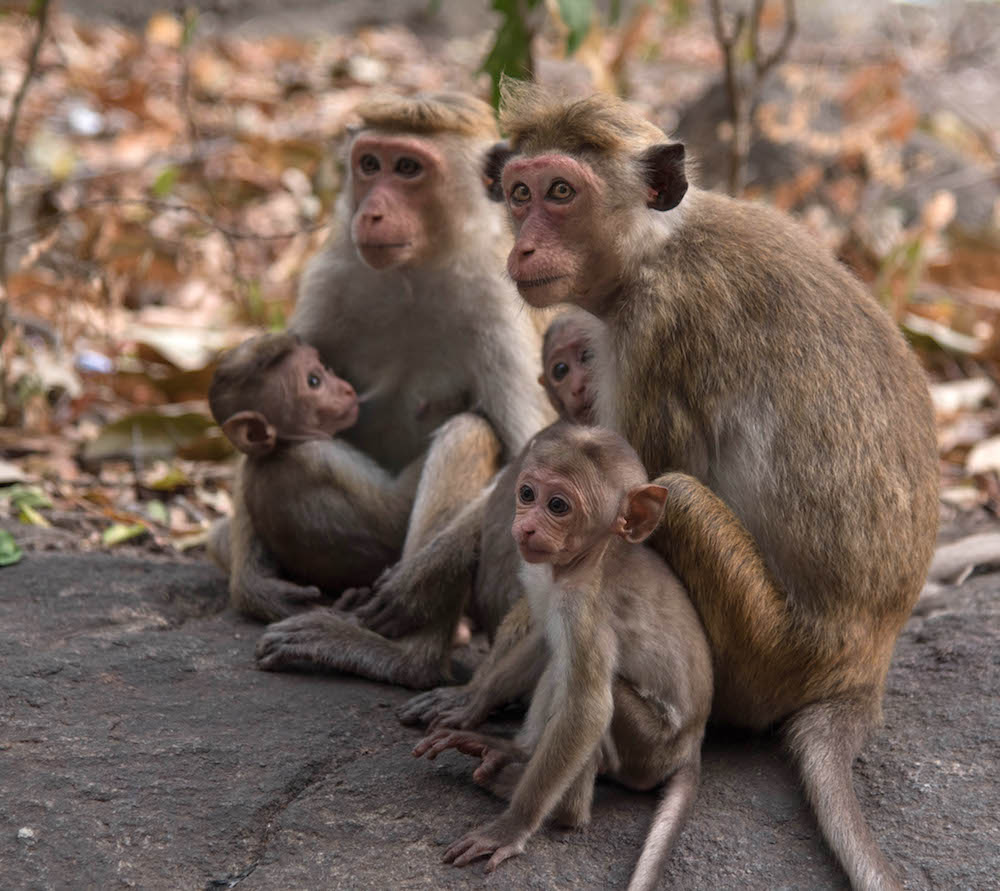 monkey-family-waiting-on-sunset-at-the-golden-temple-of-dambulla-in-sri-lanka-photo-by-jenny-adams-1870