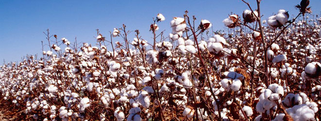 Genetically modified cotton (GM)