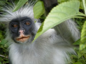 One day Jozani Forest Safari in Zanzibar