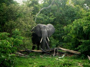 Elephant in Selous Game Reserve