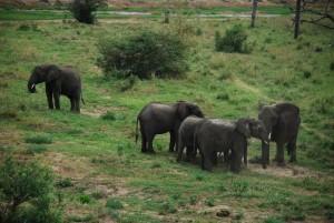 Elephant in tarangire National park1