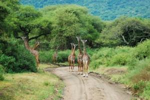 Giraffe in Manyara National Park2