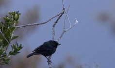 The isolated nocticolor ssp of Black Flowerpiercer