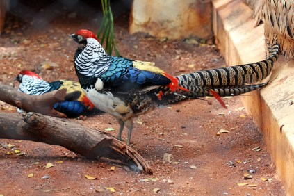 Lady Amhersts Pheasant At Mysore Zoo