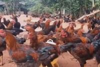 cara membuat pakan ayam bangkok