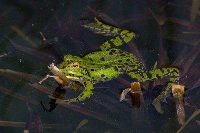 frog-393481_960_720 ok