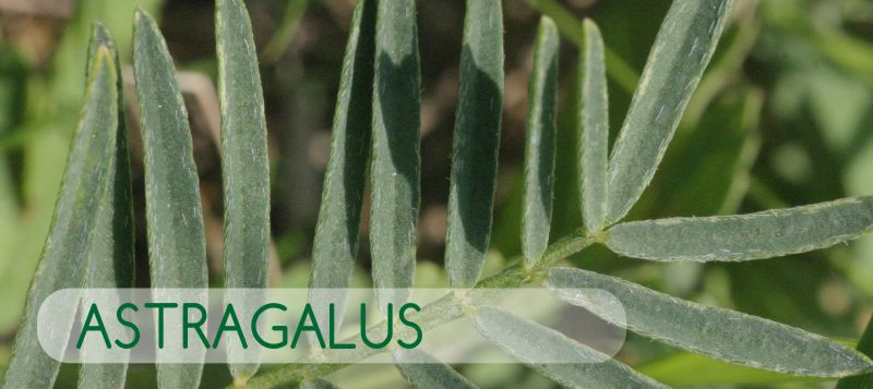 Astragalus – A Herb That Protects DNA And Fights Disease