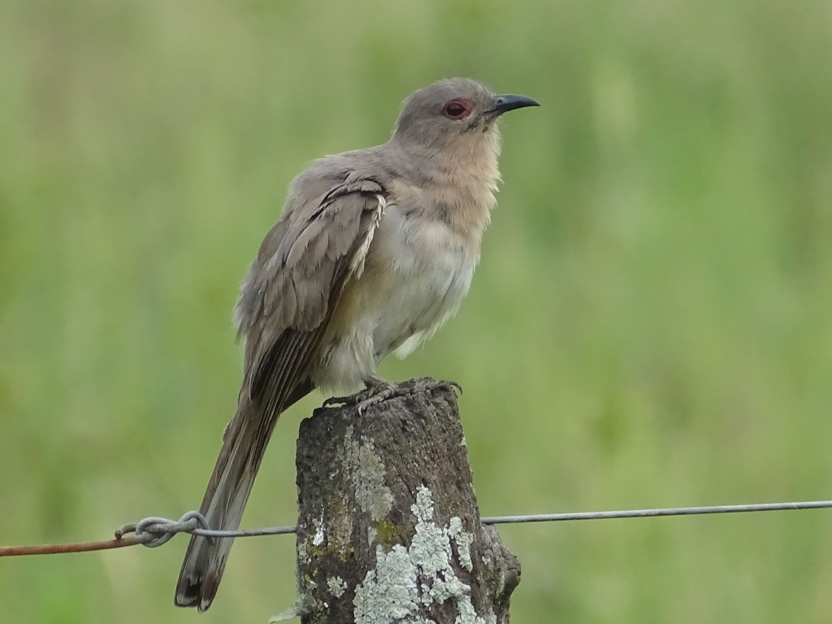 Ash-colored Cuckoo.