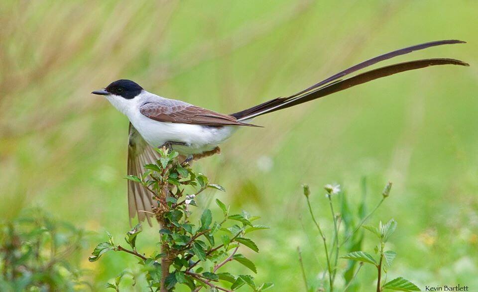 Fork-tailed Flycatcher.