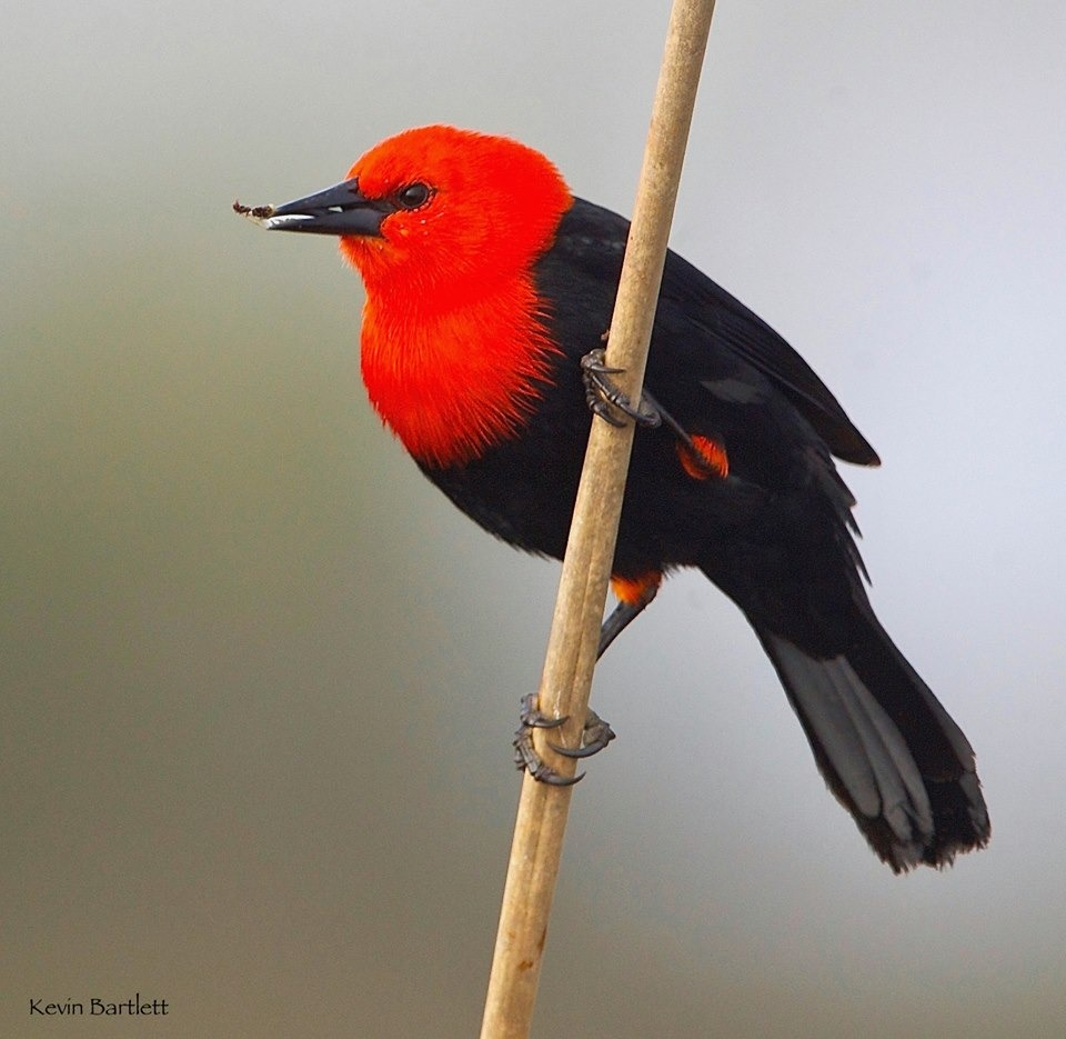 Scarlet-headed Blackbird.