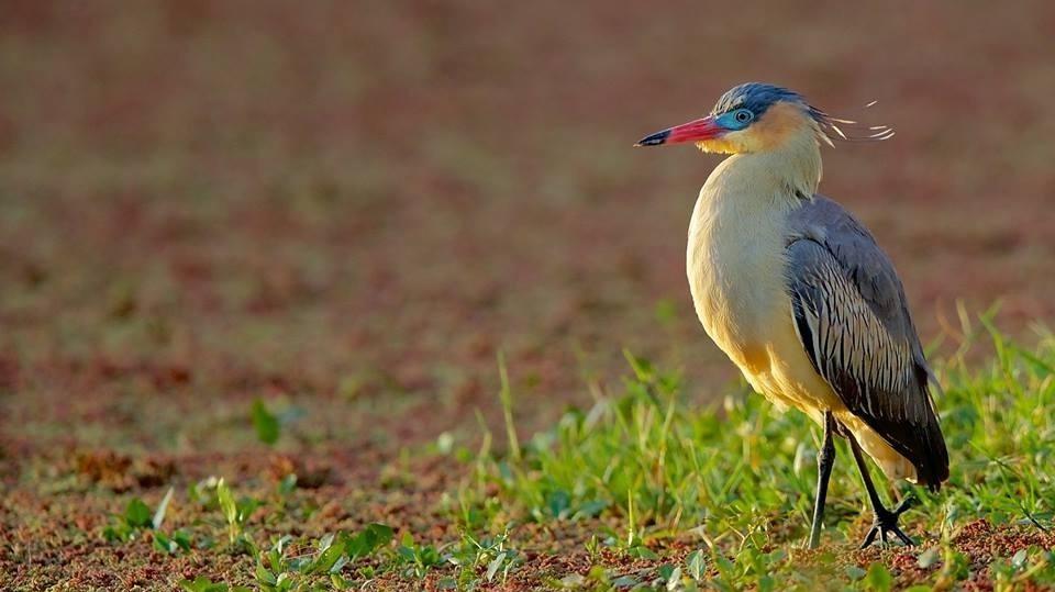 Whistling Heron.