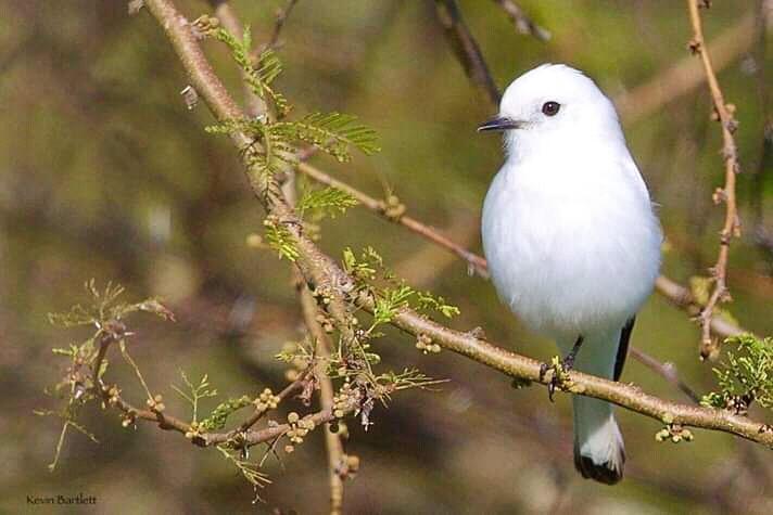 White Monjita.