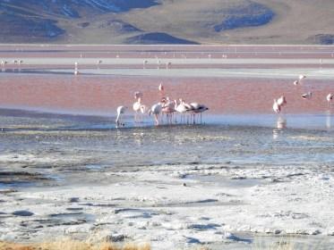 Flamants à la Laguna Colorada visiter le Salar d'Uyuni en bolivie