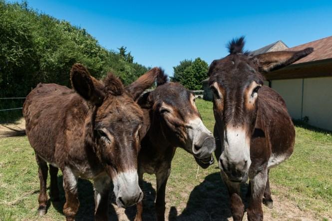 Week end à la campagne dans le Berry pôle du l'âne et du cheval ane grand noir